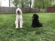 Two smart doodles working on Sit, Stay together