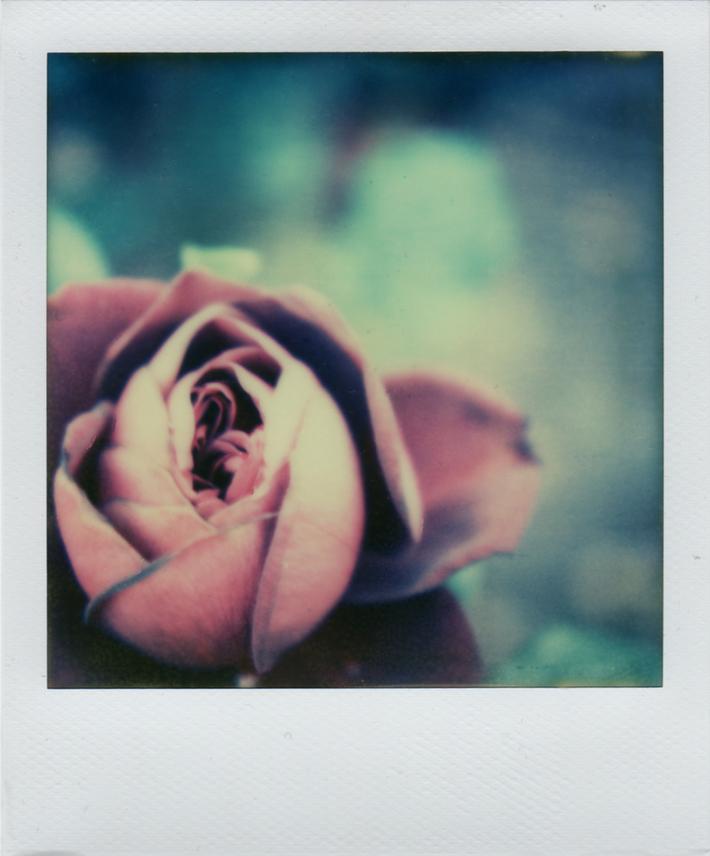 Rosa Rosae Rosae: Rosam