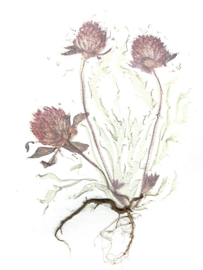 fiori di campo e di giardino-trifolium pratense