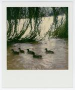 Duck Accordion