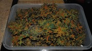 Cheezy Chili Kale Chips