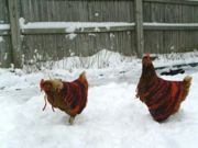 Chicken Capes!