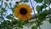 I am a Sunflower