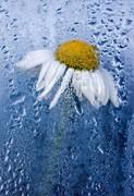 daisy,flower,nature-43bb761de2e07d0adb3478332159f27a_h