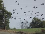 Chasse pigeon Irlande