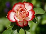 rose-2417334_960_720
