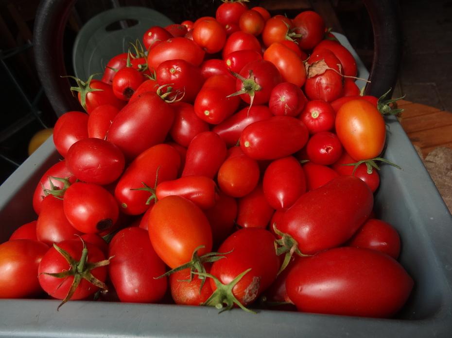 Today's tomato crop