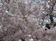 Cherry Blossoms 2019