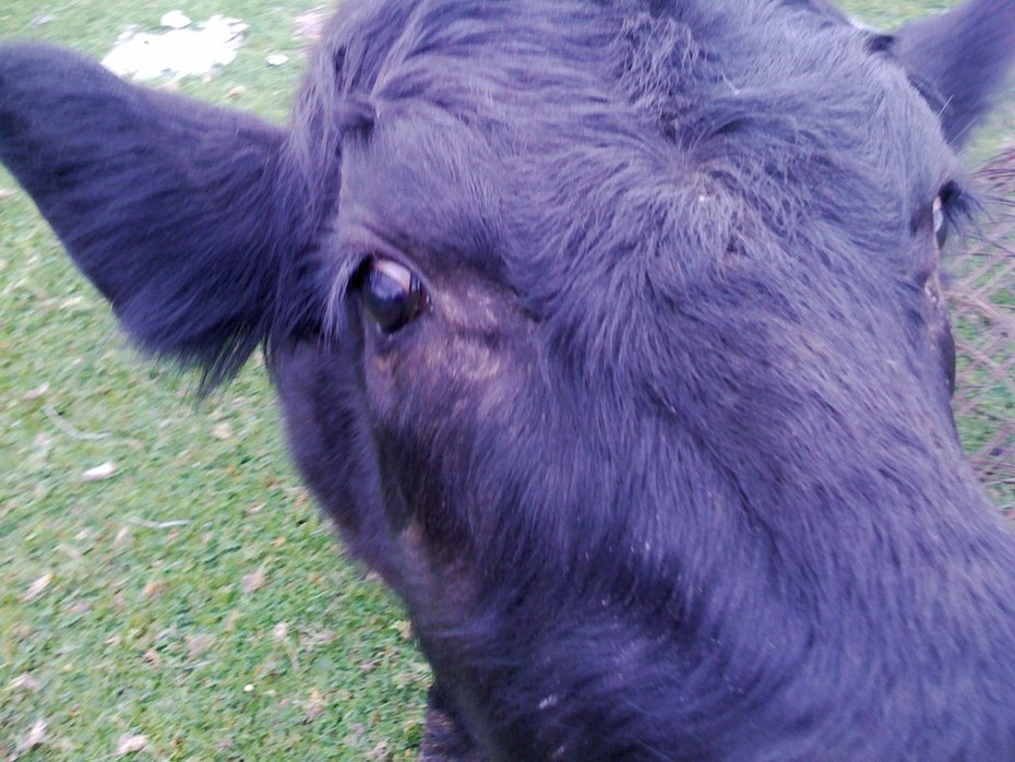 Heres What A House Trained Cow Looks Like!