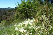 white iris rock