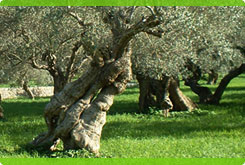Olivenbaum - tree of life