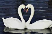 ValentineSwans