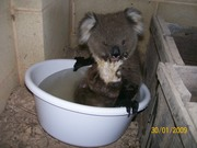 cute koala cooling off