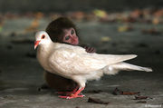 12 week old abandoned macaque and pigeon
