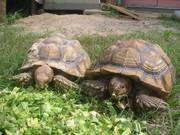 My African Desert tortoises