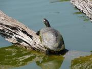 water turtle Florida