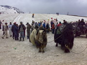 Yaks in rohtang..