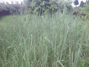 Switchgrass in Pokhara, Nepal.