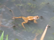 Friendly toad swims ashore