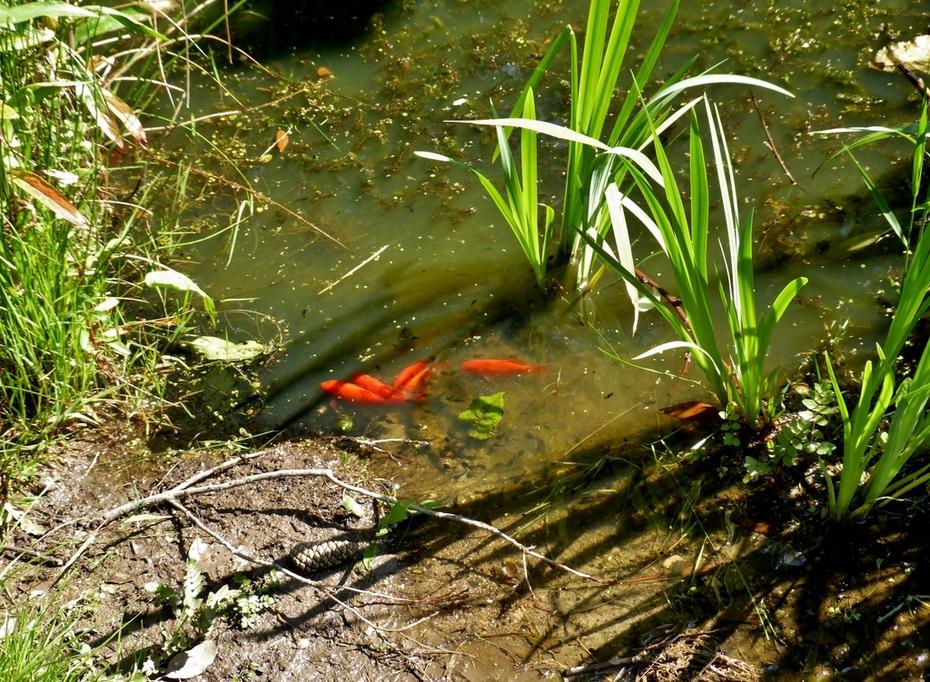 Goldfish on Birdwatch4