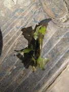 Cadrisfly Larva (camouflaged)