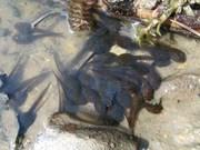 Frog Tadpole Clump