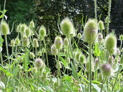 A forest of Wild Teasel in the meadow area today