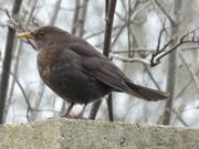 A female Blackbird near the bowling green