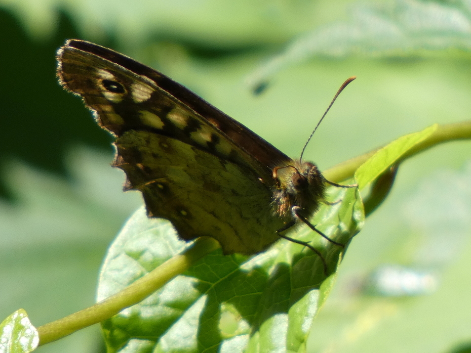 A Speckled Wood enjoying the sunshine today near the park-keeper's depot.