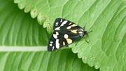 a Scarlet Tiger moth in the meadow today