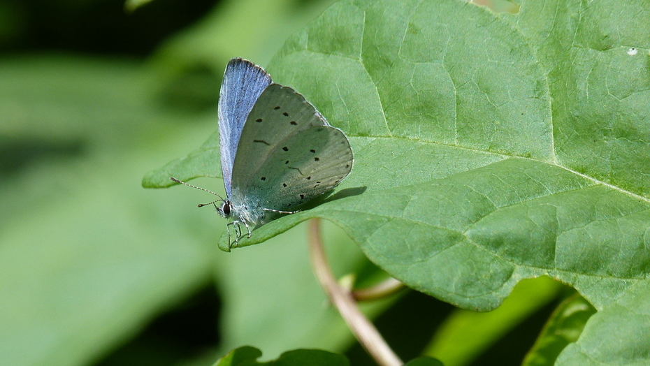 A Holly Blue basking in the sunshine near the park-keepers' depot today