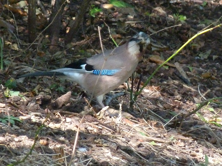 A rather quizzical Jay in the park this afternoon