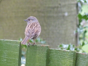 A Dunnock near the shaded area this afternoon