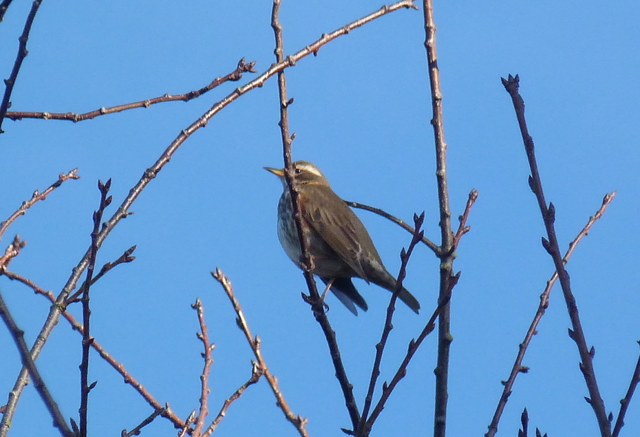 The Redwings are back! A couple were enjoying the sunshine in the park this morning.