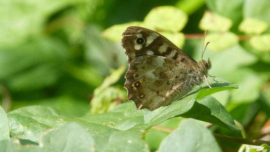 A Speckled Wood basking in the autumn sunshine today
