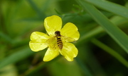 A Sphaerophoria hoverfly near the pond