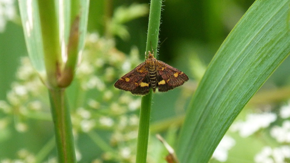 A Mint Moth Pyrausta aurata at the pond