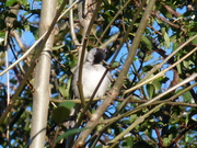 A preening male Blackcap in the park today