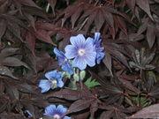 cl-up geranium in acer