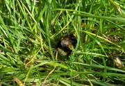 A queen White tailed Bumblebee looking for potential nest site on bank by side of pond, April 7th '19