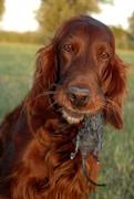 Irish red rat-dog