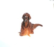 White snow and red setter, can it be better?