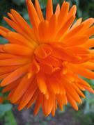 Marigold, Calendula officinalis, Ringblomma