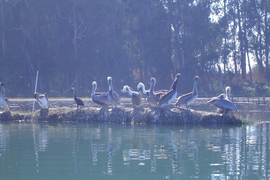 Pelicans Take a Rest in Elkhorn Slough