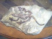 lizard fossil 008