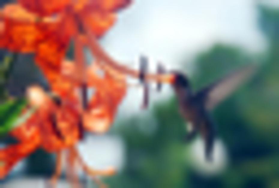 humming bird on tiger lilly