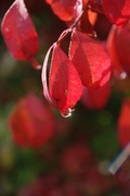 Fall red leaf water droplet