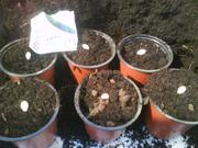 Bbc digin Courgettes ready for sowing