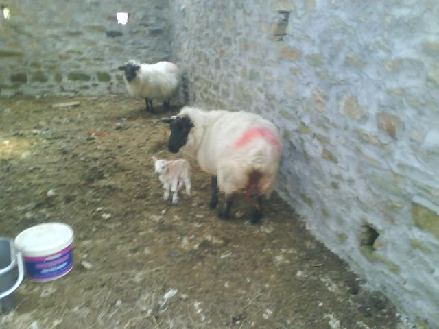Just licked clean lamb