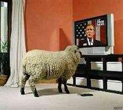 Sheep Bush
